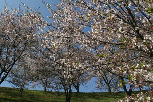 桜2009_2